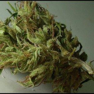 Magna Rosa Cannabis Strain